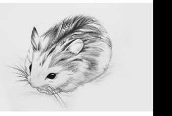 60min Animal Pencil Sketching Art Lesson - Gerbil