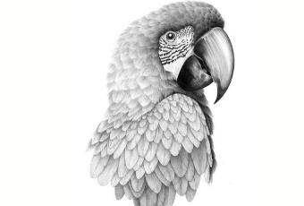 60min Animal Pencil Sketching Art Lesson - Parrot