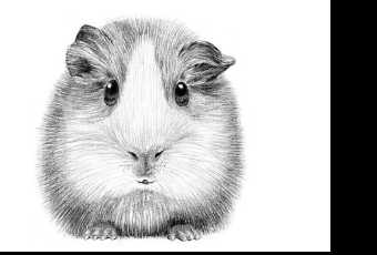 45min Animal Pencil Sketching Art Lesson - Guinea Pig