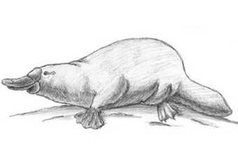 60min Animal Pencil Sketching Art Lesson - Platypus